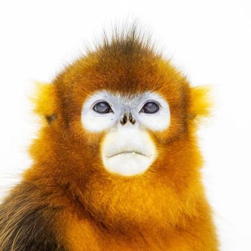 k# |, x 面孔最霸气的猴子,喜欢假装凶猛,刻意吼叫,手指长而灵活,能