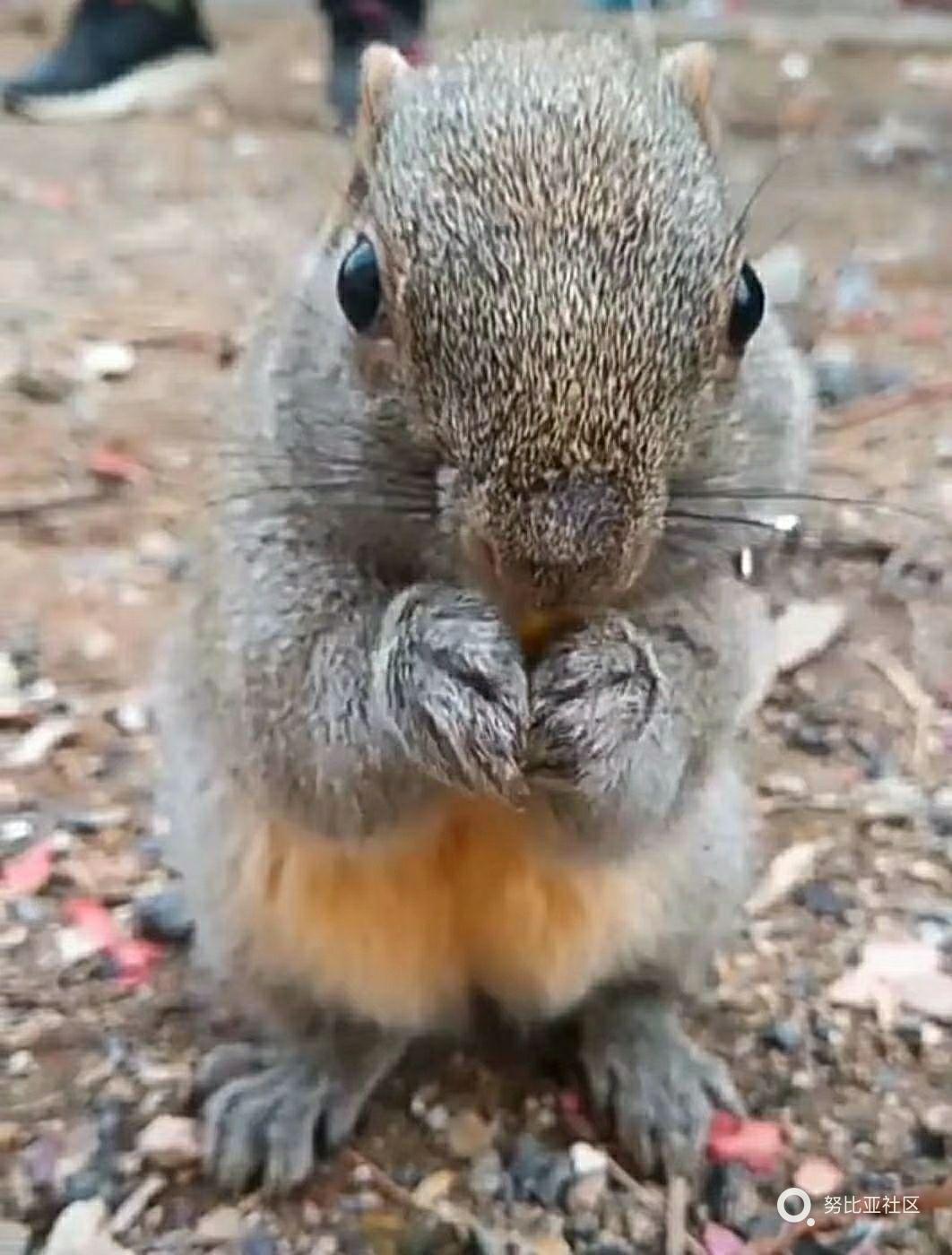 萌萌哒的小松鼠
