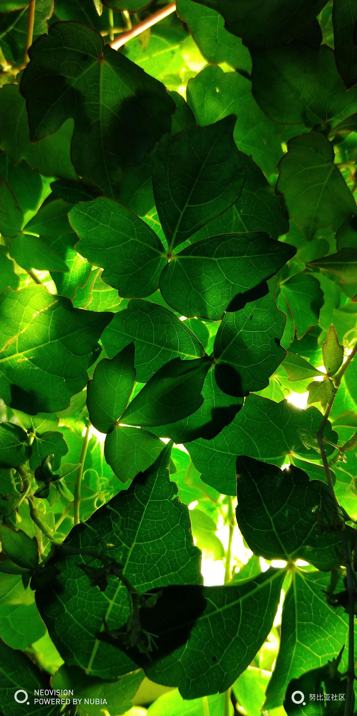 晚上花丛中的照明灯映在藤蔓植物的叶子,叠影重重,这种逆光很好观察