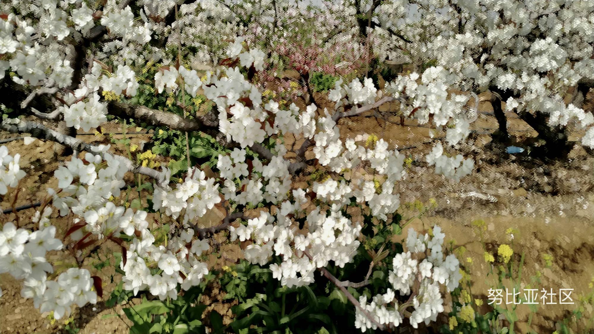 用努比亚Z17光绘梨花盛开状况,尤如画的一般引人入胜。