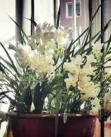追忆五年前。那一盆春节香。