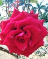 年前的玫瑰