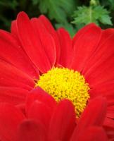 红火火的菊花
